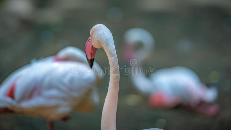 甜粉红彩笔火鸟野生生物动物 库存图片