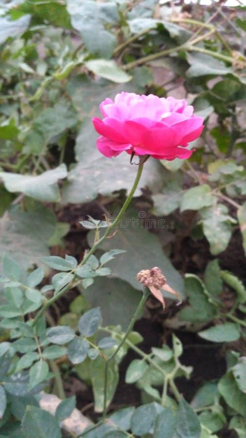 甜美丽的桃红色玫瑰 免版税库存图片
