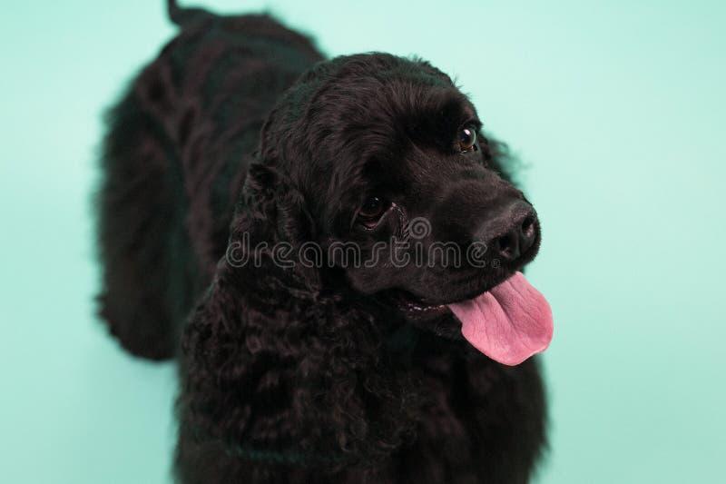甜美国美卡犬 免版税库存图片