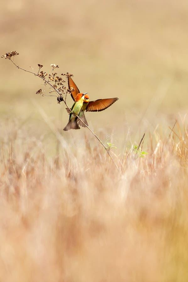 甜联接在领域,夏天早晨的分支的夫妇栗子带头的食蜂鸟 Khao亚伊,泰国 免版税库存图片