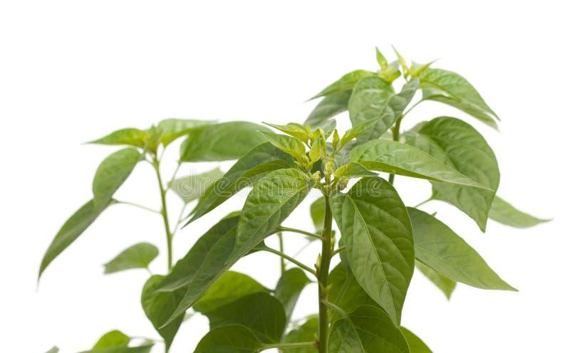 甜胡椒的幼木 库存照片