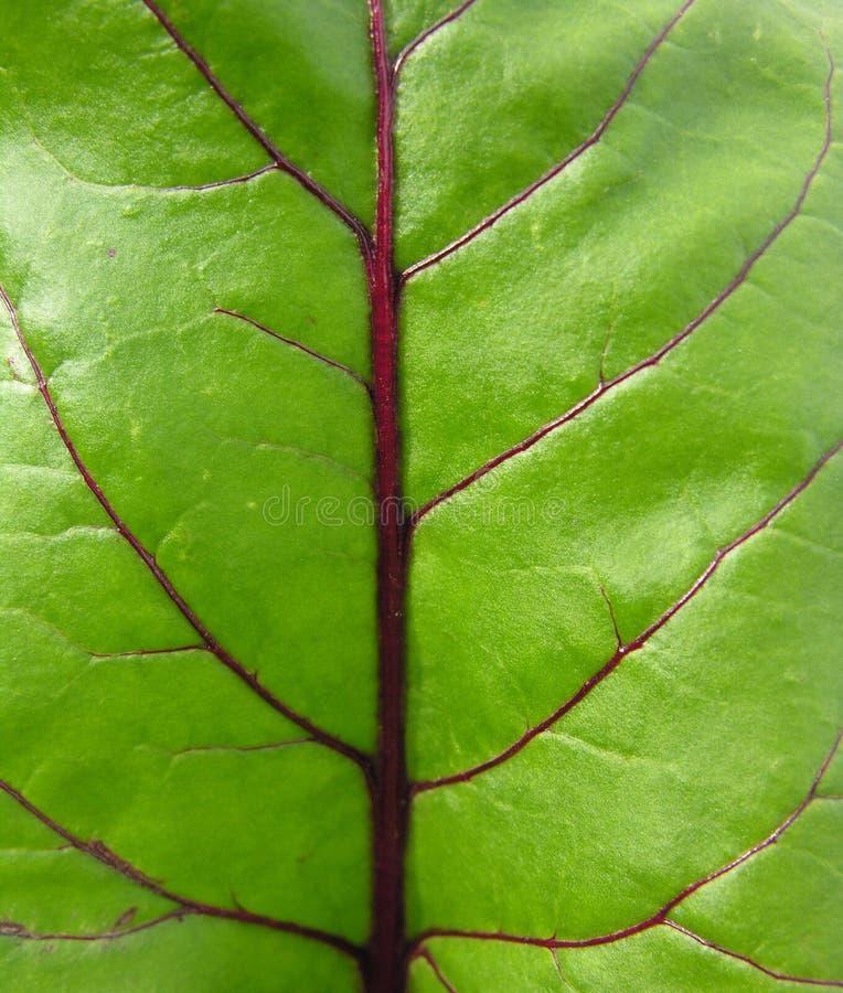 Download 甜菜叶子红色 库存图片. 图片 包括有 全部, 庭院, 红宝石, 特写镜头, 问题的, 素食主义者, 绿色, 宏指令 - 193237