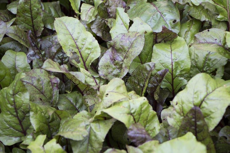 甜菜叶子,新鲜和新的有机农业照片绿色叶子  免版税库存图片