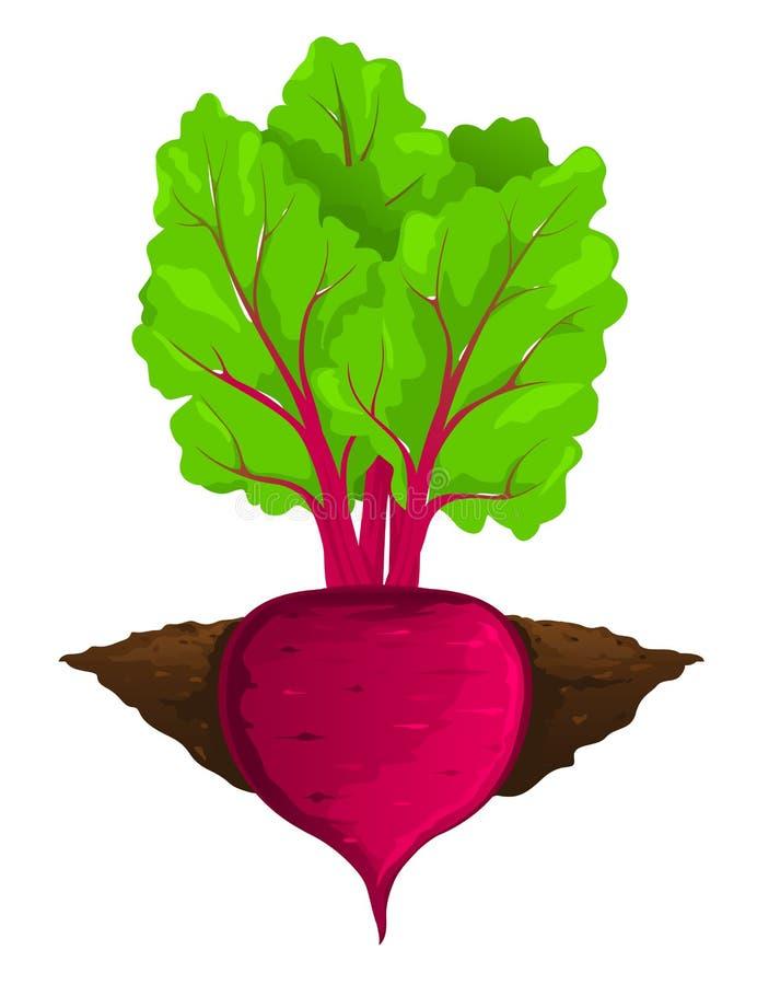 甜菜在地面增长 向量例证