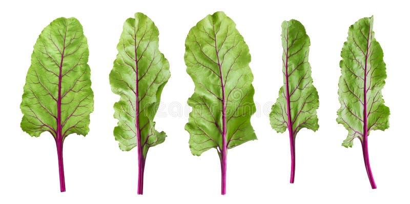 甜菜根叶子,在白色背景隔绝的甜菜叶子 库存照片