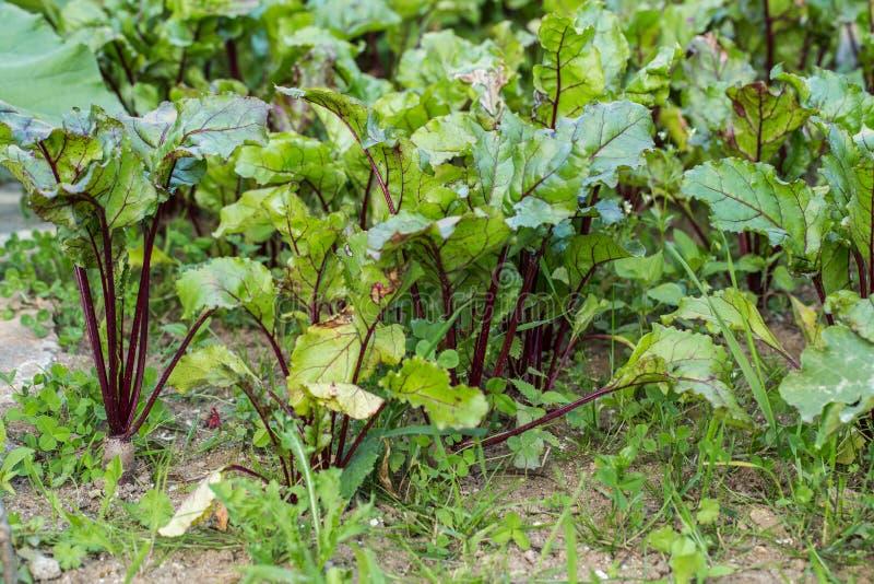年轻甜菜根在一个菜园里 库存图片