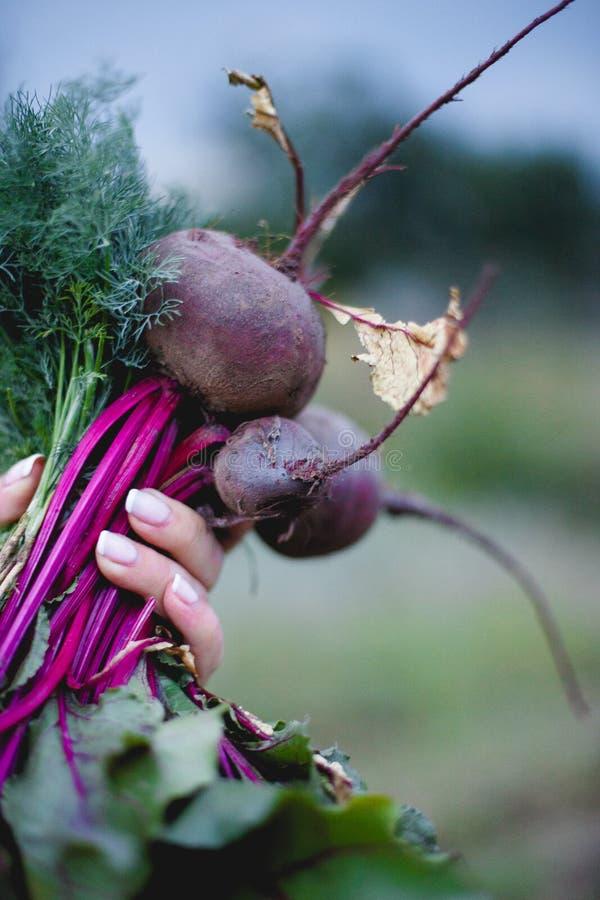 甜菜根在庭院的手上 免版税图库摄影