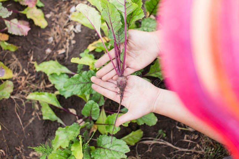 年轻甜菜根植物在farmer's手上 库存照片