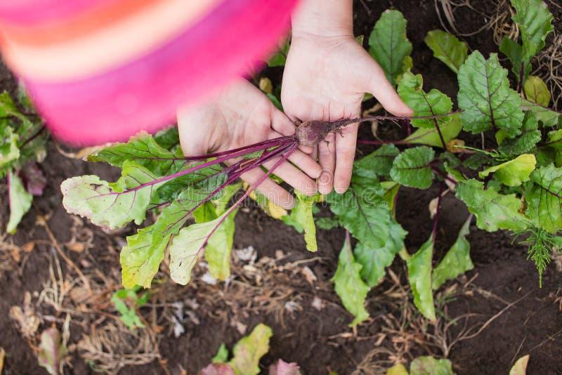年轻甜菜根植物在farmer's手上 库存图片