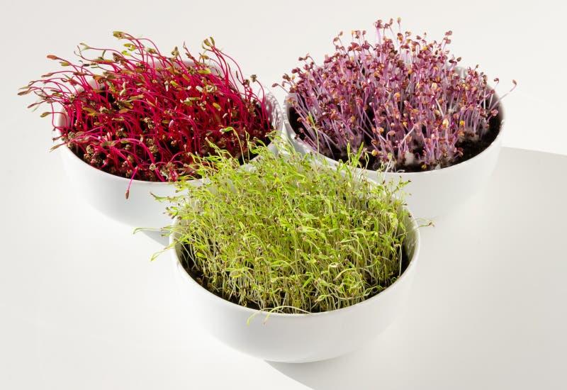 甜菜根,红叶卷心菜,在碗正面图的红萝卜microgreens 免版税图库摄影
