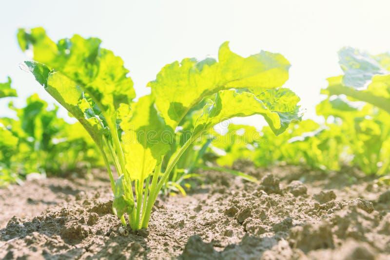甜菜领域 在地面的绿色甜菜 免版税库存图片