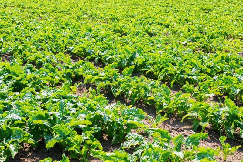 甜菜领域 在地面的绿色甜菜 库存照片