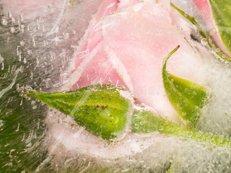 甜被冰的芽和花上升了 免版税库存照片