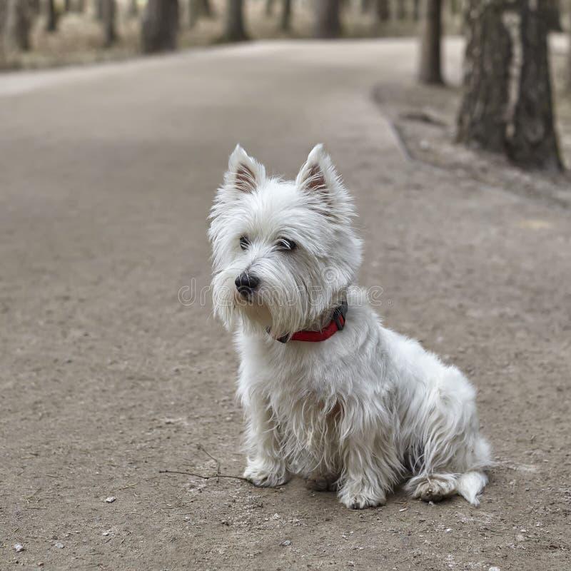 甜西部高地白色狗- Westie,Westy狗戏剧在森林里 免版税图库摄影