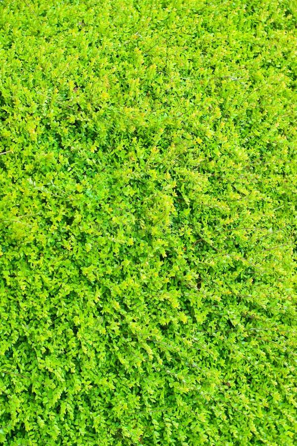 生动展开的绿色套期交易的灌木 免版税库存图片