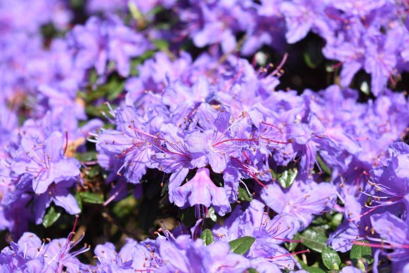 生动的浅紫色的蓝色杜鹃花花开花绽放 免版税库存图片