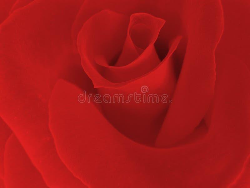 生动红色的玫瑰 库存图片