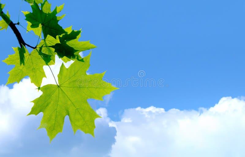 生叶槭树 免版税图库摄影
