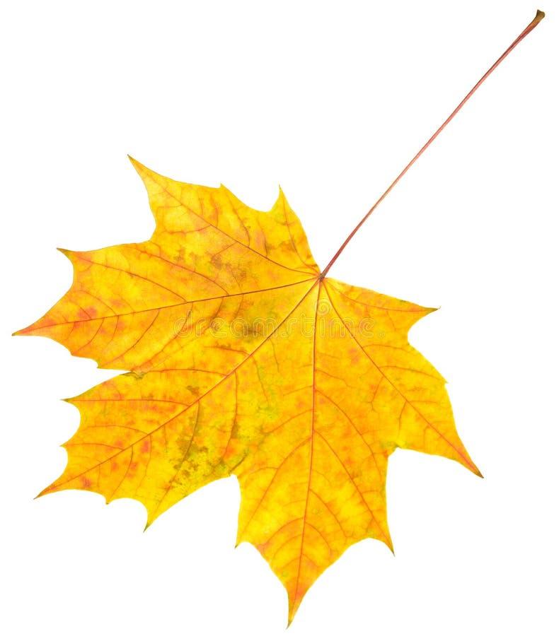 生叶槭树 免版税库存照片