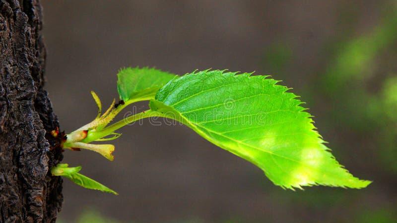 图片 包括有 绿色, 樱桃, 绽放, 春天, 生命力, 生活, 叶子, 结构树