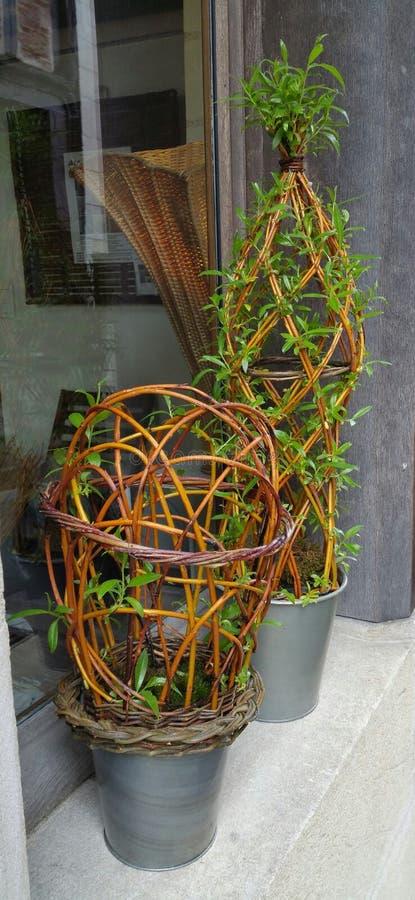 生存杨柳植物 库存图片
