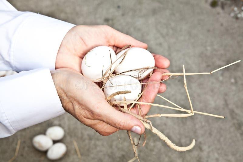 生态学鸡蛋 库存图片