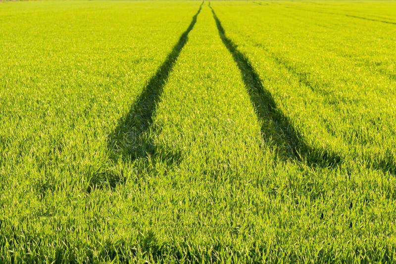 生态方向方式概念 调遣绿色麦子 在一块绿色麦田的路 免版税库存图片