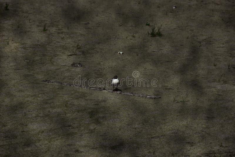 生态环境污染长得太大的海鸥的概念在一个肮脏的池塘的 免版税库存图片