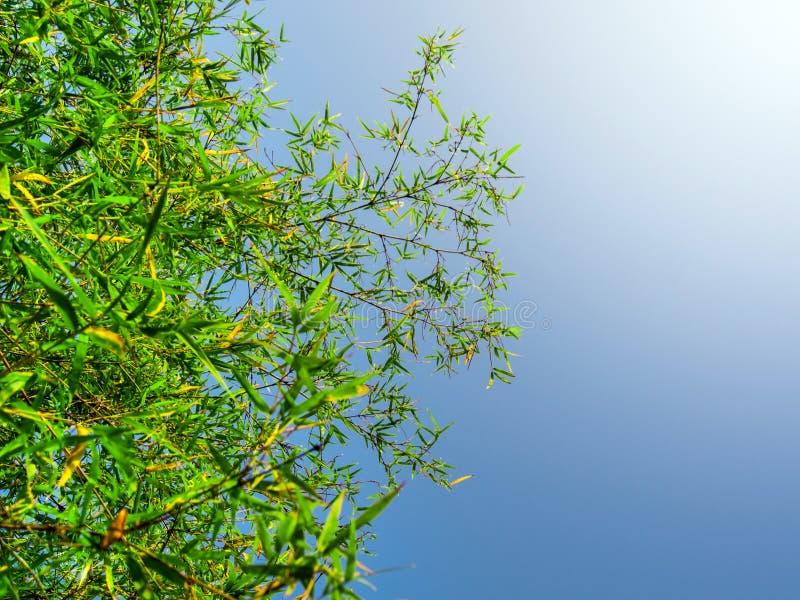 生气勃勃竹子绿色叶子  库存照片