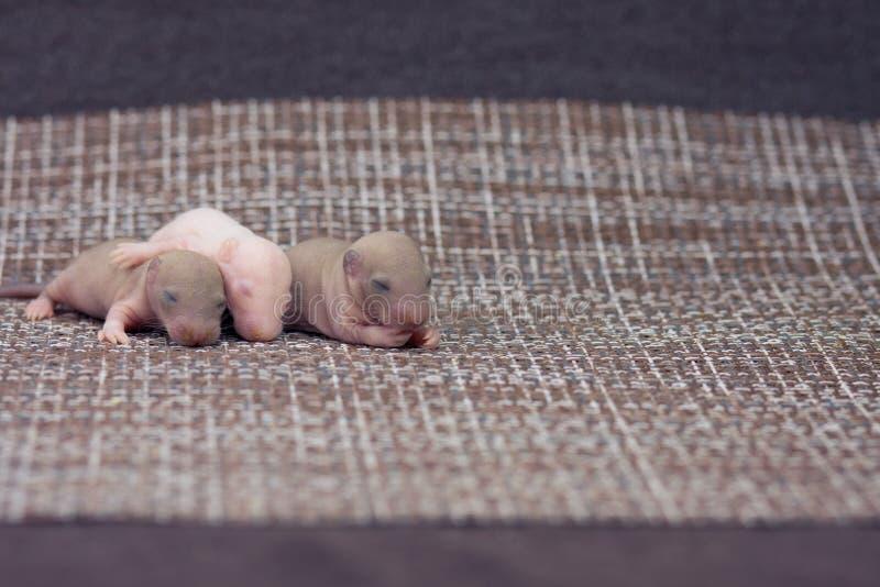 生活诞生的概念  新生儿鼠睡觉 免版税图库摄影