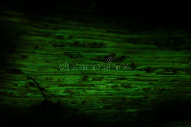 生物发光mycena绿色焕发  免版税图库摄影