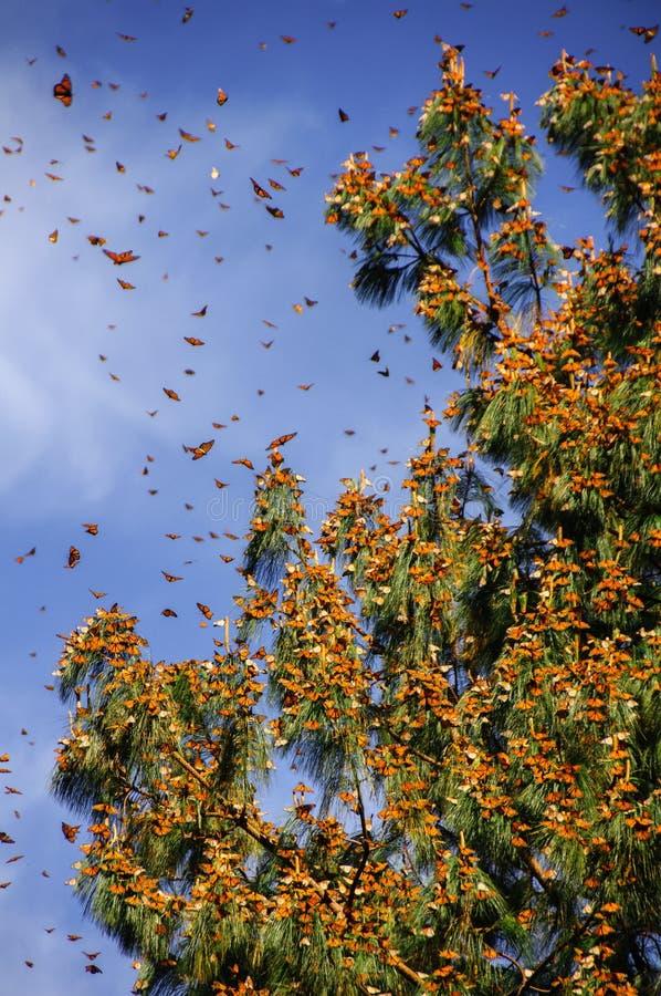 生物圈蝴蝶墨西哥国君预留 免版税图库摄影