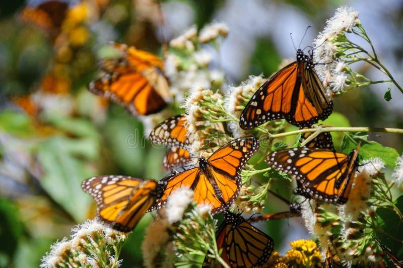 生物圈蝴蝶墨西哥国君预留 免版税库存照片