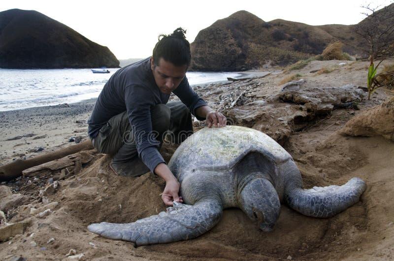 生物学家与和平的绿浪乌龟一起使用 免版税库存照片