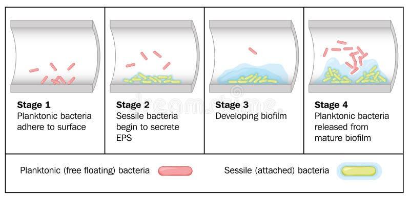 生物薄膜的形成 皇族释放例证