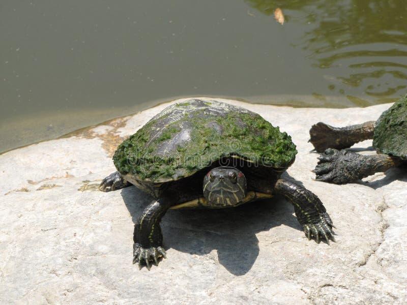 生苔乌龟 库存照片