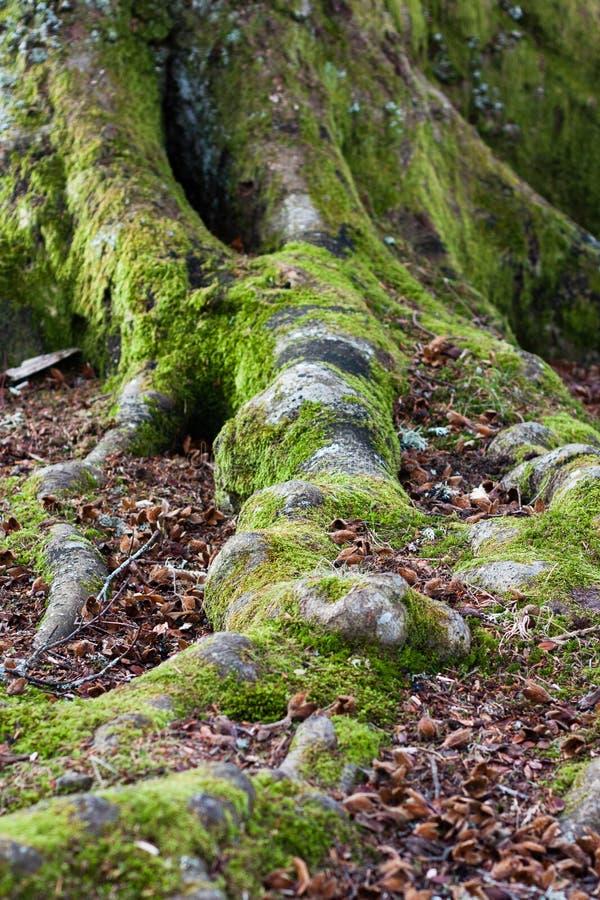 生苔山毛榉树根和树干 免版税库存图片