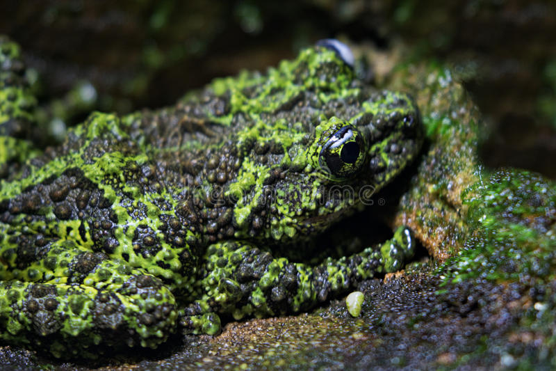 生苔的青蛙 库存照片