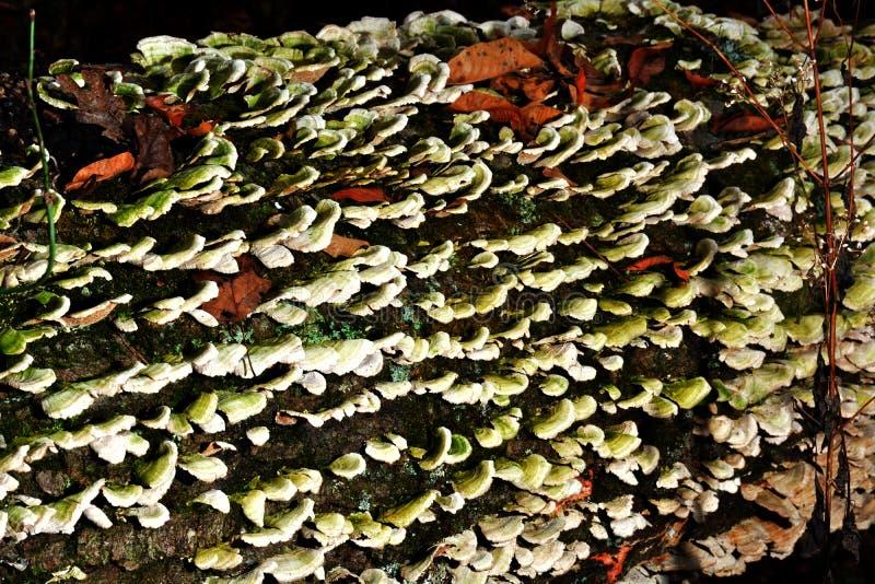 生苔真菌 库存图片
