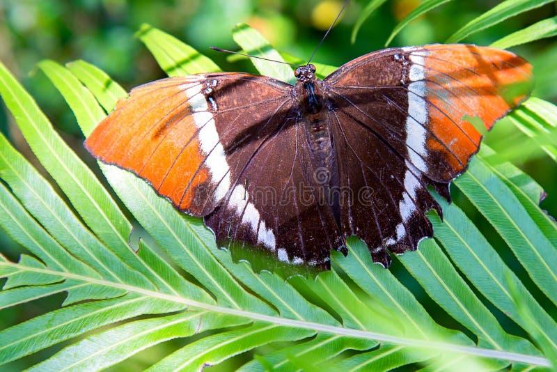 生锈的被打翻的页蝴蝶休息在一片大叶子 免版税库存照片