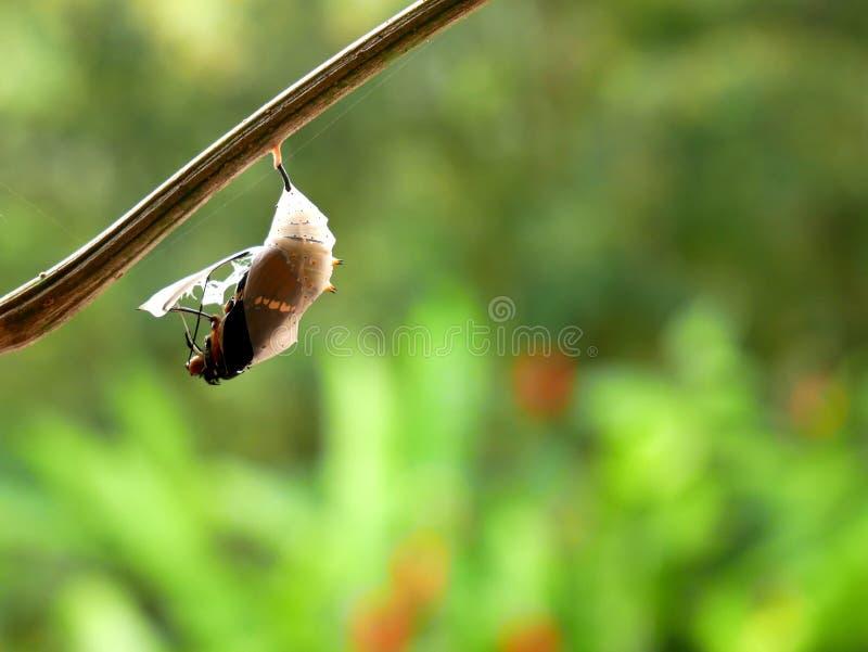 生锈被打翻的页蝴蝶spiroeta epaphus出去它的蛹有被弄脏的绿色背景 免版税库存照片