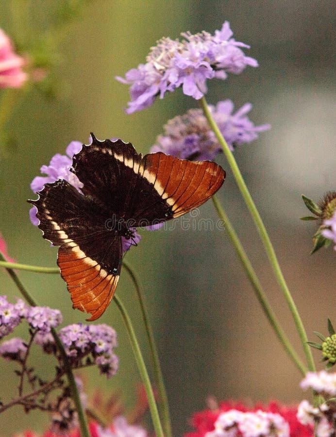 生锈被打翻的页蝴蝶, Siproeta epaphus 免版税库存图片