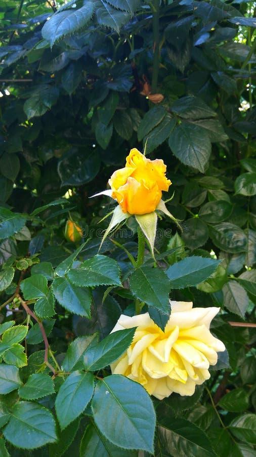 生长一朵黄色玫瑰的灌木 库存图片