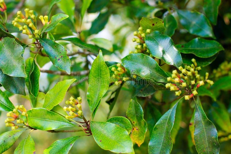生长与在树,巴厘岛的绿色叶子的丁香 免版税库存图片