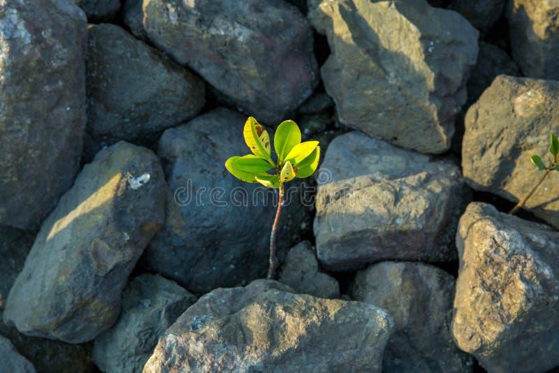 生长从咸水的年轻美洲红树 库存图片