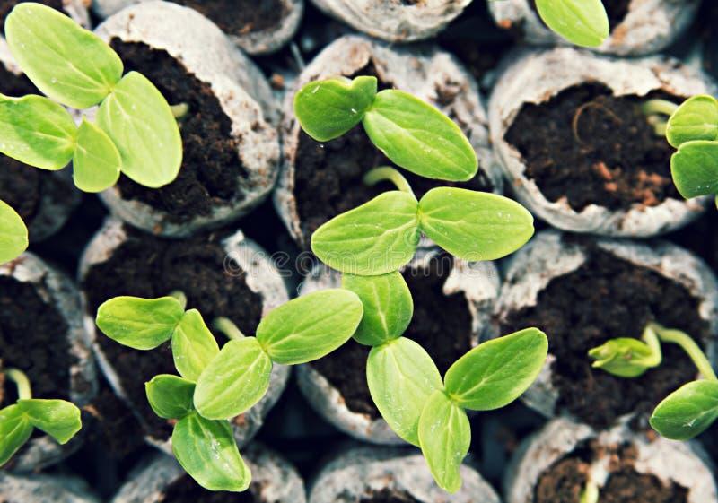 生长从土壤的植物幼木 库存图片