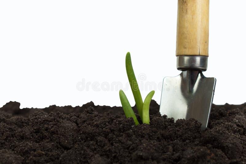 生长从土壤的绿色新芽隔绝在白色背景 在沃土纹理背景的园艺工具 库存图片