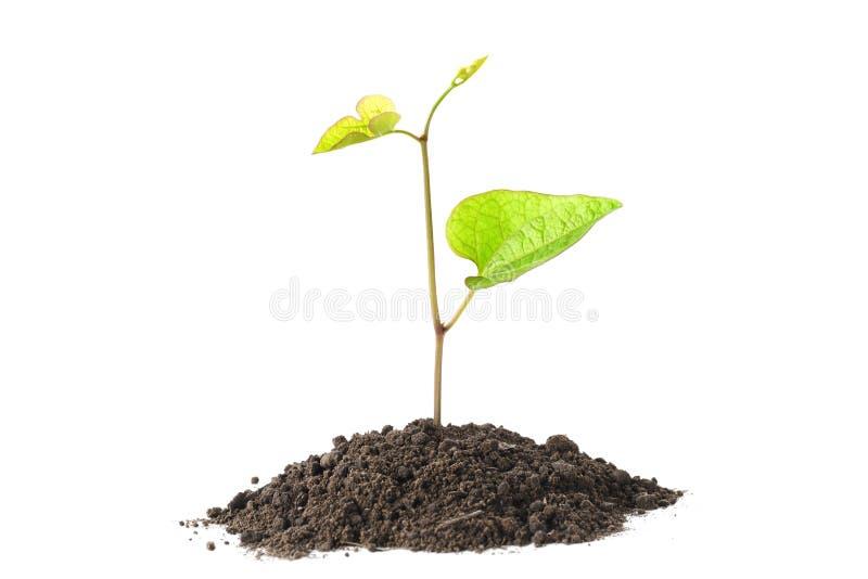 生长从在白色的土壤孤立的绿色植物 库存照片