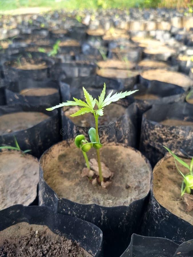 生长从种子的印度楝树在庭院里 免版税库存照片