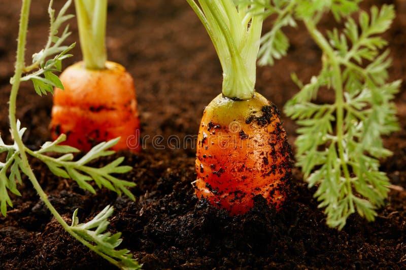 生长土壤的红萝卜 免版税库存照片